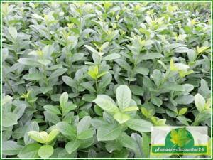 Der Kirschlorbeer Novita ist eine sehr schnellwüchsige Heckenpflanze mit wunderschönen glänzenden dunkelgrünen Blättern. Kirschlorbeer Novita ist eine verbesserte Selektion vom Kirschlorbeer Rotundifolia wächst stärker als Rotundifolia, weniger krankheitsanfällig. Durch sein schnelles Wachstum und die großen Blätter ist der Kirschlorbeer Novita ist schnell blickdicht.
