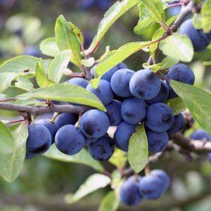 Die Schlehe Prunus spinosa kann bis zu 4 Metern hoch werden. Er wird auch Schwarzdorn genannt. Der Prunus spinosa gehört zu den Wildgehölzen und ist ein optimaler Vogelschutz. Er trägt im April eine große Anzahl an kleinen weißen Blüten, die später dann zu blauschwarzen Beeren werden, den sogenannten Schlehen. Um die Schlehen zu verzehren sollten diese auf jeden Fall Frost bekommen haben bzw. in der Tiefkühltruhe gewesen sein.