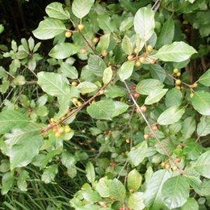 Der Faulbaum wächst baumartig, mit überhängenden Zweigen und wird etwa 5 m hoch. Von Mai bis Juni blüht er mit gelblich weißen Büscheln. Im Herbst trägt er schwarze, erbsengroße Früchte, die vielen Vögel als Nahrungsquelle dienen. Seine dunkelgrünen Blätter werden gerne von Schmetterlingsraupen gegessen. Im Herbst entwickelt das Laubwerk eine gelbe bis leuchtend gelbe Färbung. Der Faulbaum ist äußerst anspruchslos an die Bodenverhältnisse. Er toleriert feuchte bis nasse Standorte und eignet sich deshalb gut für die Uferbepflanzung an Teichen und Seen. Er ist ein wertvolles Vogelschutz- und nährgehölz.
